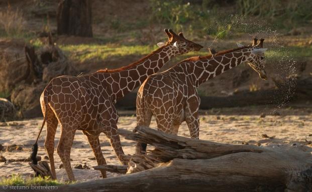 samburu giraffa reticolata al fiume